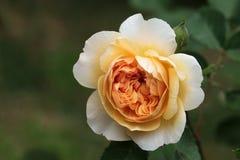 在乳脂状的杏子桔子,英国ros的美丽的玫瑰色开花 免版税库存照片