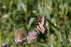 在乳草厂的黑脉金斑蝶 免版税图库摄影