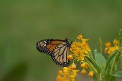 在乳草植物的黑脉金斑蝶 库存照片