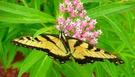 在乳草花的美丽的东部老虎Swallowtail蝴蝶 免版税库存照片