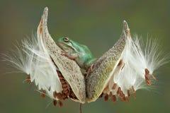 在乳草荚的青蛙 免版税库存照片