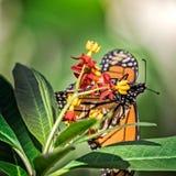 在乳草1的黑脉金斑蝶 图库摄影