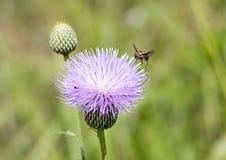在乳蓟的Hoverfly 库存图片