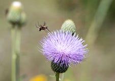 在乳蓟的Hoverfly 免版税库存照片
