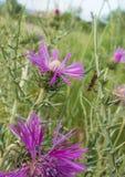 在乳蓟紫色花的蜗牛杀害飞行 免版税库存图片