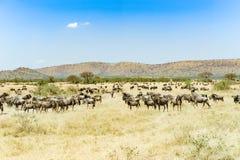 在了不起的迁移时间的角马在塞伦盖蒂,非洲,角马hundrets一起 图库摄影