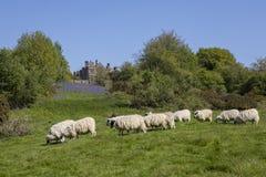 在争斗修道院的绵羊在东萨塞克斯郡 库存图片