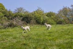 在争斗修道院的羊羔在东萨塞克斯郡 免版税库存图片