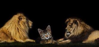 在二头狮子之间的猫 免版税库存图片