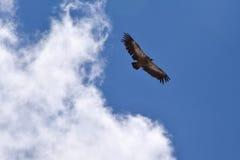 在云彩的雕飞行 库存图片