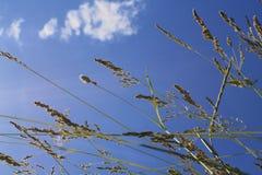 在云彩背景的Уellow草  免版税库存图片