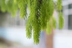 在云杉分支的绿色年轻针  库存图片