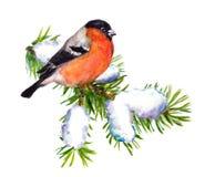 在云杉的冬天红腹灰雀与雪 水彩 皇族释放例证