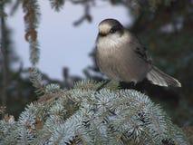 在云杉的分支栖息的灰色杰伊 库存照片
