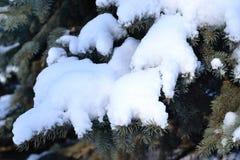 在云杉的分支的雪 库存图片