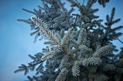 在云杉的树的冬天霜 库存照片