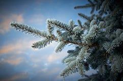 在云杉的树的冬天霜 免版税库存图片