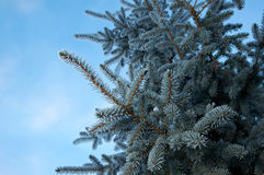 在云杉的树的冬天霜 库存图片