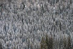 在云杉的森林的质地图象在冬天 免版税库存图片