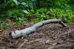 在云杉的针背景的干燥分支 图库摄影