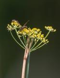 在云香植物的纸质黄蜂 库存照片
