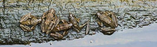 在五只皮包骨头的共同的青蛙的顶视图在一个分支在水中, s 免版税库存图片