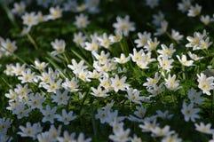 在五叶银莲花的起斑纹的太阳 库存图片