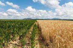 在五谷和玉米的领域的多云天空 库存照片