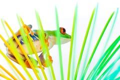 在五颜六色的卷里面的红眼睛的雨蛙 免版税图库摄影