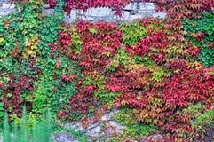 在五颜六色的常春藤盖的石墙 免版税库存图片