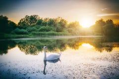 在五颜六色的日落湖,狂放的自然背景的白色天鹅 库存图片