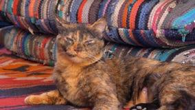 在五颜六色的枕头在阿拉伯咖啡馆或水烟筒的灰色蓬松逗人喜爱的猫谎言与支架床 ?? 股票录像