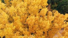 在五颜六色的树梢的飞行在一好日子 在黄色,橙色和红色森林视图的秋天树从上面 ?? 影视素材