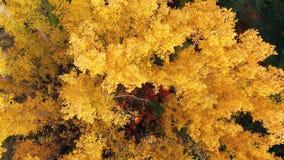 在五颜六色的树梢的飞行在一好日子 在黄色,橙色和红色森林视图的秋天树从上面 ?? 股票视频