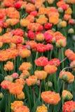在五颜六色的桃子和桃红色郁金香的惊人的风景 库存照片