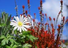 在五颜六色的植物和天空蔚蓝背景关闭的银莲花属blanda白色辉煌花 免版税库存照片