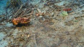在五颜六色的热带珊瑚礁的美丽的法老王乌贼 库存照片