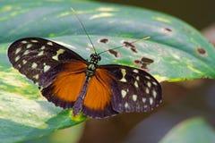 在五颜六色的热带花的黑热带蝴蝶 免版税库存照片