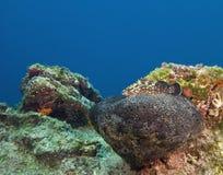 在五颜六色的珊瑚水中中的被伪装的鱼在马尔代夫 图库摄影