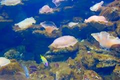 在五颜六色的珊瑚的Anemonefish 免版税图库摄影