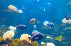 在五颜六色的珊瑚的Anemonefish 图库摄影