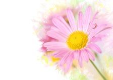 在五颜六色的背景的桃红色菊花花 免版税图库摄影