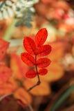 在五颜六色的背景的红色秋天叶子 库存图片
