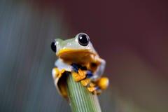 在五颜六色的背景的绿色雨蛙 图库摄影