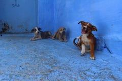 在五颜六色的舍夫沙万摩洛哥街道上的可爱的小狗  免版税库存照片