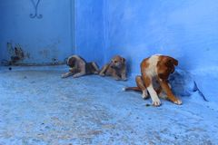 在五颜六色的舍夫沙万摩洛哥街道上的可爱的小狗  库存照片