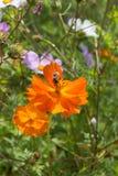在五颜六色的花的仔细的审视与蜂 免版税库存照片