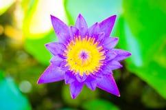 在五颜六色的迷离bokeh的一朵美丽的紫色莲花 库存照片