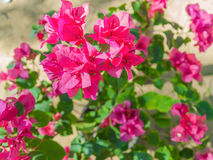 在五颜六色的颜色的紫色九重葛花在庭院里 免版税库存照片