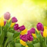 在五颜六色的bokeh背景的郁金香花 免版税库存照片